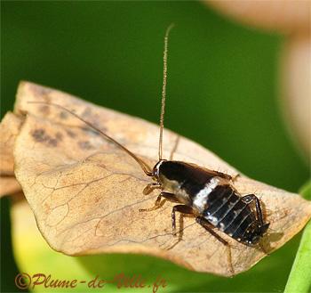 insectes autres blatte des landes plumedeville. Black Bedroom Furniture Sets. Home Design Ideas