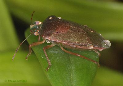 insectes autres la punaise verte nezara viridula. Black Bedroom Furniture Sets. Home Design Ideas