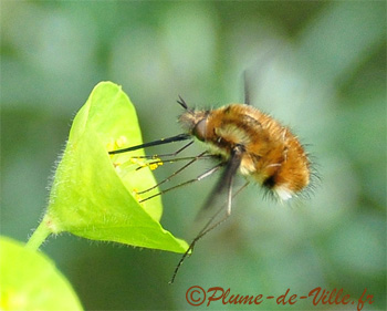 Grand Bombyle